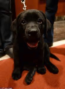 Best In Show Puppy 15kg best in show american kennel club says labrador retrievers most popular us breed for record