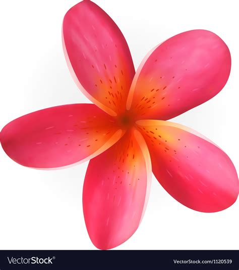 plumeria vector pink plumeria flower isolated on white royalty free vector