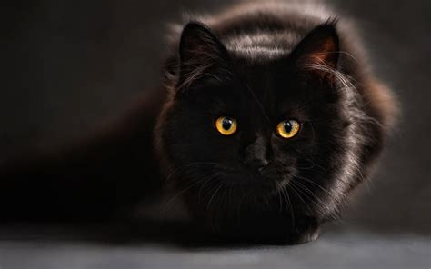 Cat 1 Named by 250 Best Black Cat Names For Naming Your New Kitten