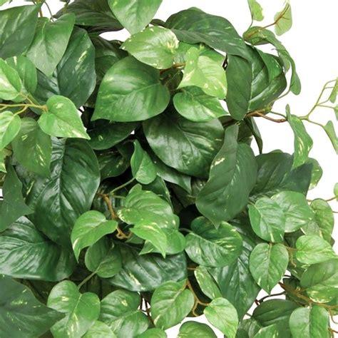 come curare le piante d appartamento come curare i pothos piante appartamento cura e