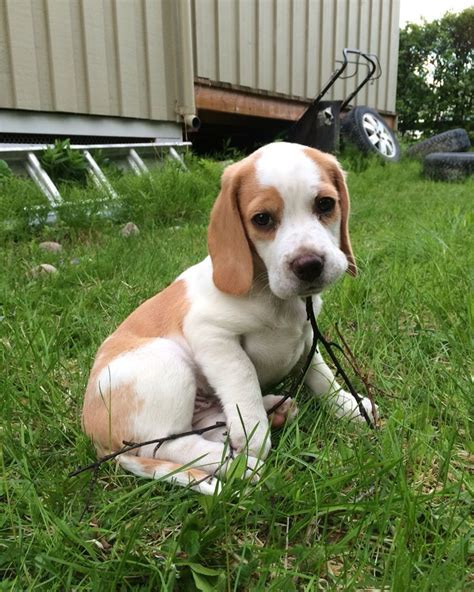 lemon beagle puppies best 25 lemon beagle ideas on beagle puppy beagle puppies and lemon