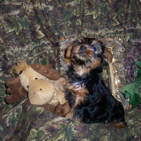 yorkie puppies corpus christi pocketbook pups terriers customers