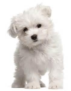 Small Home Dogs Top 10 Kleine Hondenrassen Foto Beschrijving