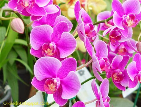 moth orchids orchids flowers pictures bulbophyllum vanda cattleya