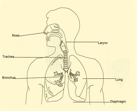 diagram of the respiratory system human respiratory system diagram for