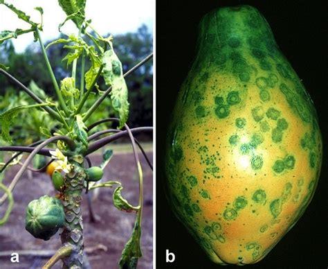 Papaya ringspot virus (Mancha Anelar {Anéis Necróticos, pt