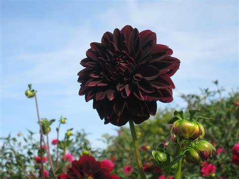 Black Flower Garden Black Flowers And Your Garden Blooms Today