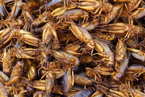 Karet Pet Topi Un United Nation crispy whole grasshoppers to be served in guacamole at nyc