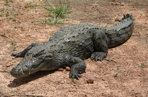 hocico de cocodrilo en cartulina cocodrilos caimanes y alig 225 tores carlos