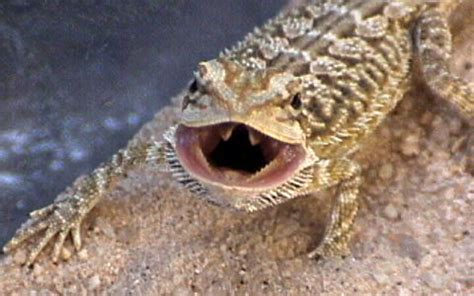 how often do bearded dragons go to the bathroom looking for a lizard as a pet they are active nearly all