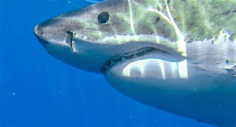 can sharks see color do sharks really mistake humans for seals sharkdiver