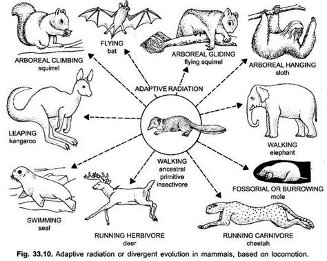 adaptive radiation diagram adaptive radiation in mammals vertebrates chordata