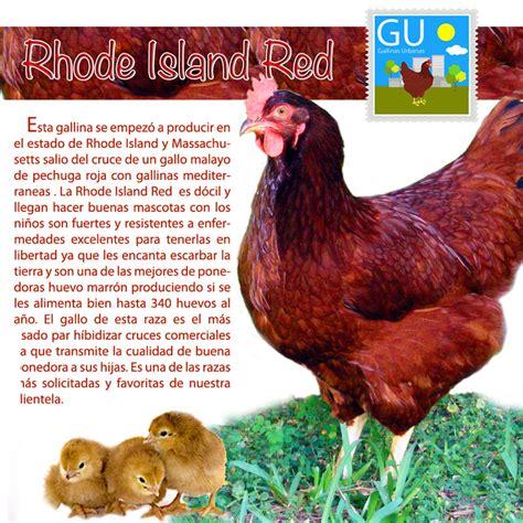 de gallinas razas de gallinas