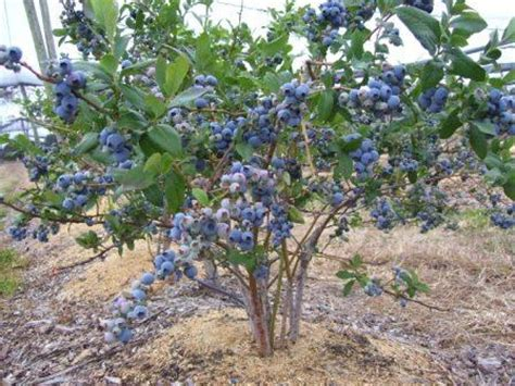 Blueberry Garden by 10 Best Blueberry Bush Images On