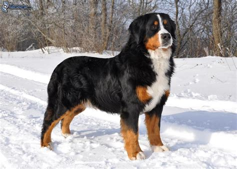 bernice mountain bernese mountain