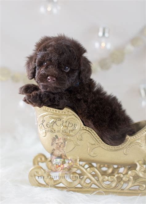 can my teacup poodle get the standard poodle haircut cutest poodles here teacups puppies boutique