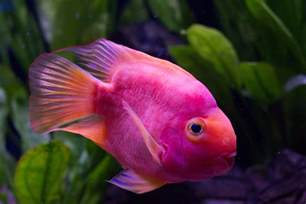 colored fish pink fish underwater cuteness cuteness