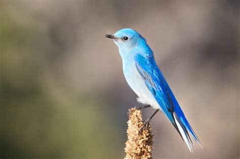 mountain bluebird hd photos weneedfun