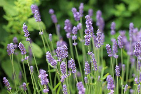 pflanzenfamilie lavendel lavendel