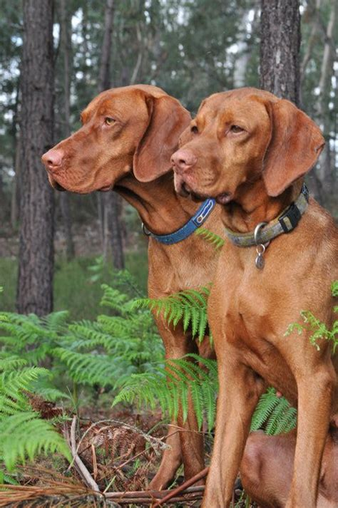 where the fern grows names redbone coonhounds look like dan and from quot where the fern grows quot dogs