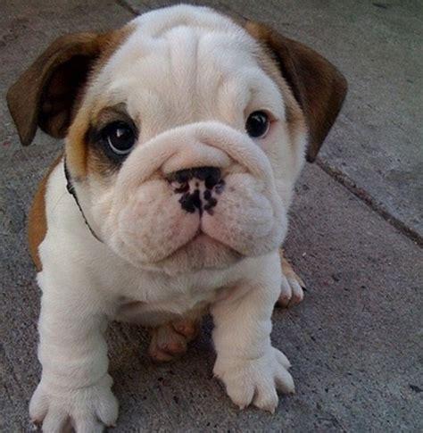 wrinkle puppy bulldog puppy wrinkles i want a pet soooooo bad
