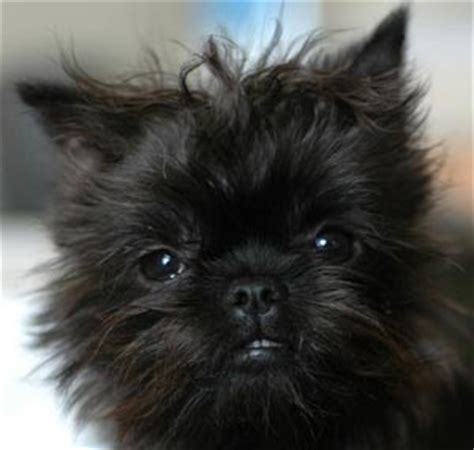 affenpinscher puppies for sale affenpinscher puppies for sale power pet