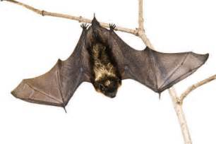 How Do You Get Rid Of Mice In Your House by Michigan Bats In A Nutshell