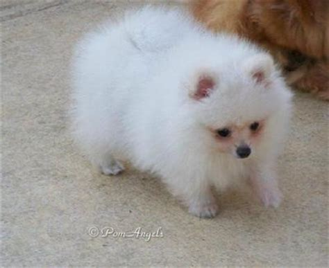 pomeranian adoption california pomeranian and small breed rescue petfinder design bild