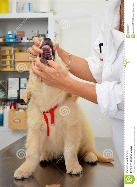 golden retriever puppy teeth vet checking puppy royalty free stock photography image 31778307