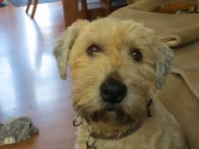 pictures of wheaten terrier haircut styles hairstyle gallery