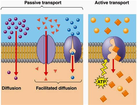 passive  active transport  cell membranes
