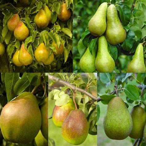 6 fruit tree special deal pear tree multi variety fruit tree pear