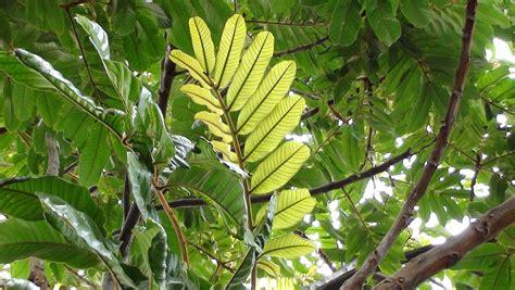 tamarind tree fruit forum tamarind trees