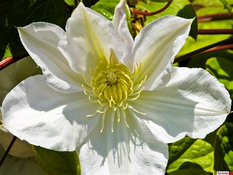 white clematis gardenbantercouk