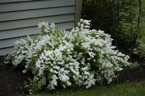 picture  deutzia gracilis slender deutzia moon garden