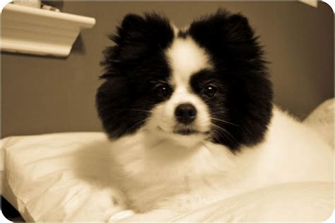 pomeranian black and white black and white animals breeds picture