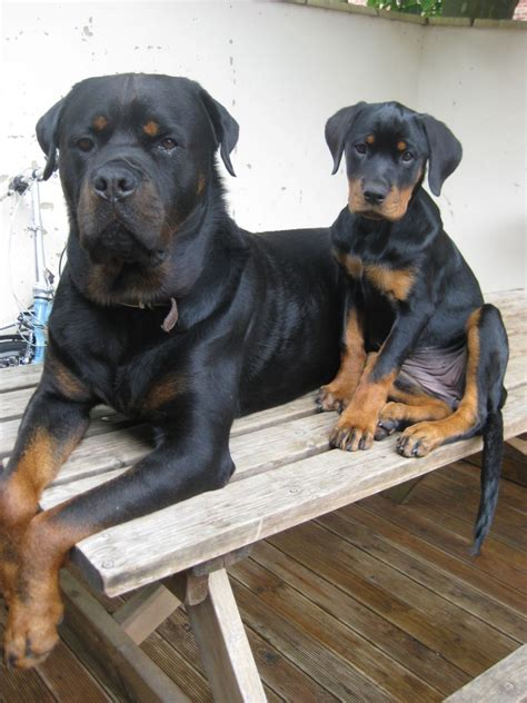 rottweiler puppies colorado chunky rottweiler puppies aylesbury buckinghamshire pets4homes