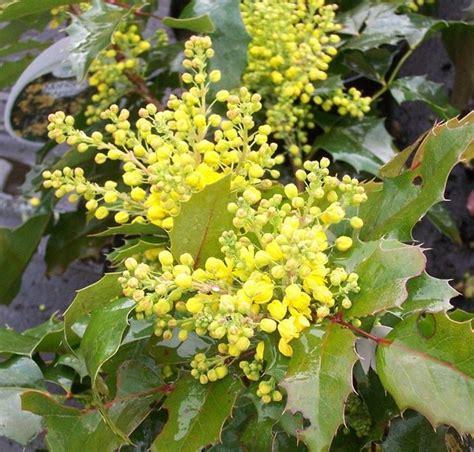 arbusti con fiori arbusti fiori gialli primavera duylinh for