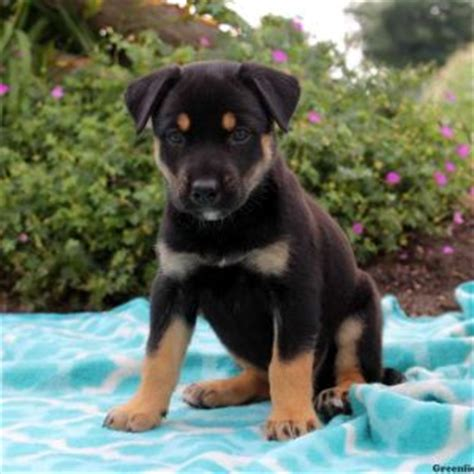rottweiler mix puppies for sale in ohio rottweiler mix puppies for sale in de md ny nj philly dc and baltimore