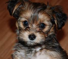 pictures of shorkie dogs with hair shorkie