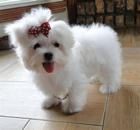 miniature maltese puppies for sale teacup maltese teacup maltese puppies for sale pets