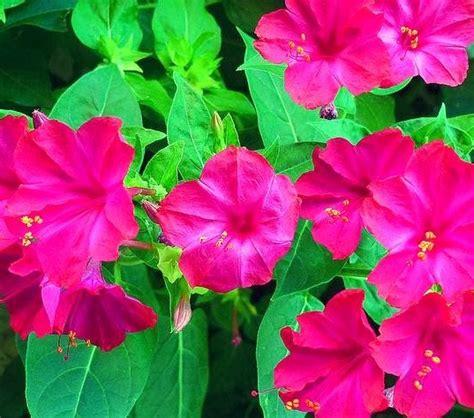 Jual Bibit Bunga Pukul Empat Jual Bibit Bunga Hias Jual Bibit Bunga Murah
