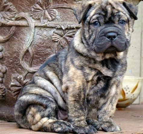 bull pei puppies for sale best 25 shar pei mix ideas on