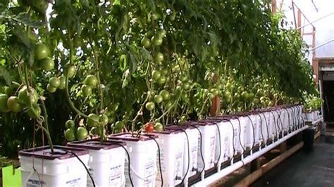 update dutch bucket hydroponic tomatoes oct  hd youtube