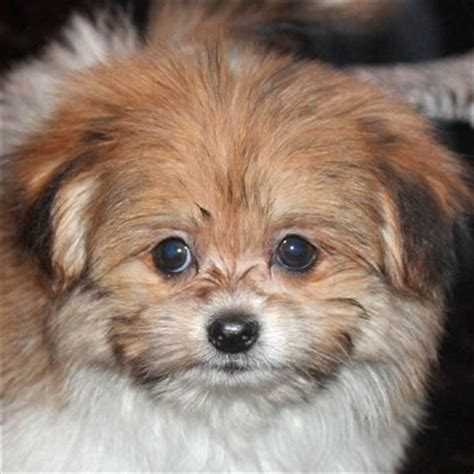 shih tzu and pomeranian mix for sale pom shih puppy for sale in boca raton south florida