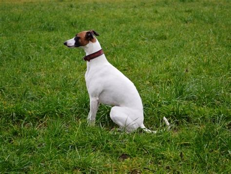 Ridiculously Cool Website Whippet Grey by Whippets Of Autumnlove Zuchtst 228 Tte F 252 R Whippets