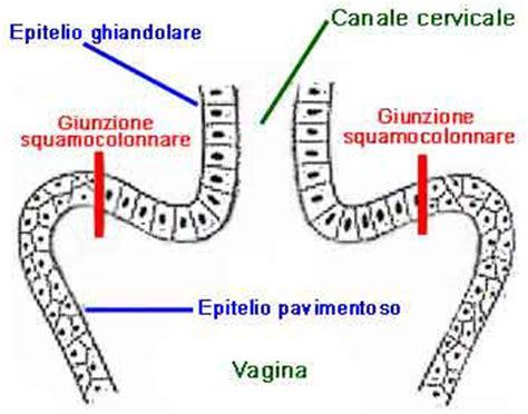 portio uterina anatomia