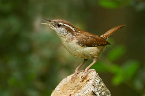 birds wrens on pinterest wren fairies and birds