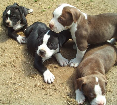 puppy pit bull american pit bull terrier puppies puppies breed information image pictures
