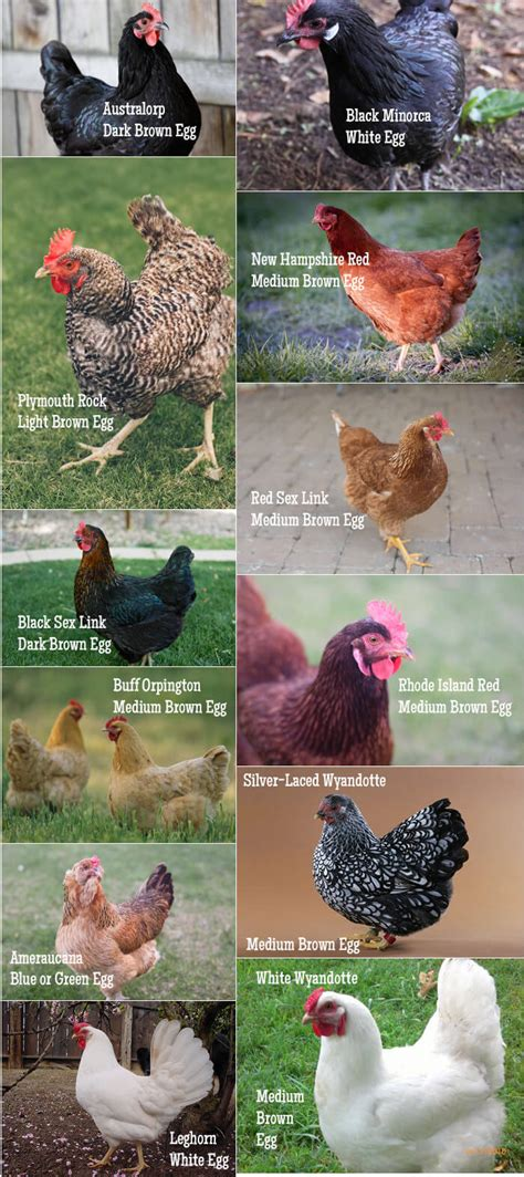 Types Of Backyard Chickens A Practical Guide To Keeping Chickens Chicken Basics